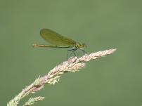 Demoiselle/Prachtlibelle (Calopteryx sp)