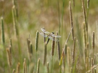 Four-spotted Skimmer/Vierfleck (Libellula quadrimaculata)