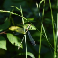 Western Willow Spreadwing/Weidenjungfer ([Chalco-] Lestes viridis)