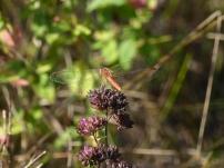 Moustached Darter/Gemeine Heidelibelle (Sympetrum vulgatum)