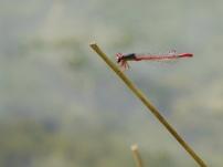 Small Red Damsel/Spaete Adonislibelle (Ceriagrion tenellum)