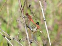 Ruddy Darter/Blutrote Heidelibelle (Sympetrum sanguineum)