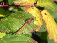 Grosse Heidelibelle/Common Darter (Sympetrum striolatum)