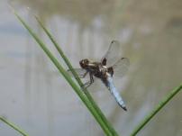 Broad-bodied Chaser/Plattbauch (Libellula depressa)