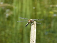 Four-spotted Chaser/Vierfleck (Libellula quadrimaculata)