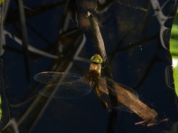 Green-eyed Hawker/Keilfleck-Mosaikjungfer (Aeshna isoceles)
